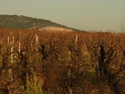 Photo faune et flore, Frontignan - Des vignes pour le muscats.