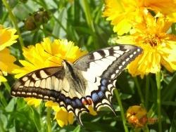 Photo faune et flore, Passins - papilon