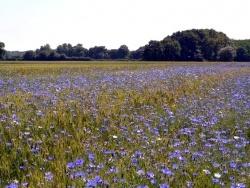 Photo faune et flore, Asnans-Beauvoisin - Asnans Jura - Champ de blé avec bleuets -05 Juin 2015.