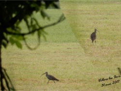 Photo faune et flore, Villers-les-Bois - LE COURLIS - Villers les Bois
