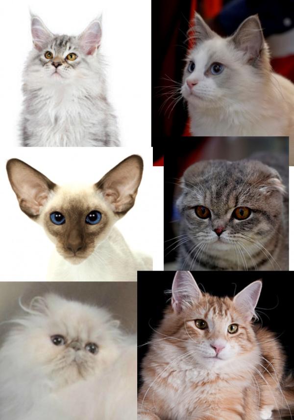 présentation de chats et chatons de race