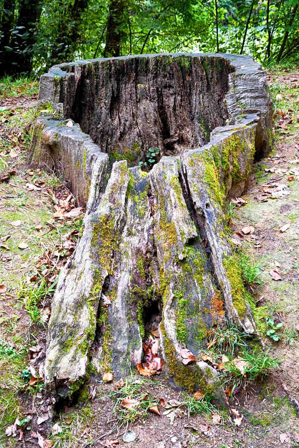 Photo Nérac - Nérac, parc de la Garenne : vieille souche.