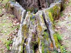 Photo paysage et monuments, Nérac - Nérac, parc de la Garenne : vieille souche.