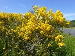 Photo faune et flore, Rimeize - genets de juin autour de Rimeize