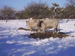 Photo faune et flore, Le Ham - Vaches à la neige