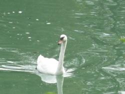 Photo faune et flore, Damery - Un cygne sur la Marne  à Damery (51)