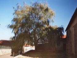 Photo paysage et monuments, Thimonville - le saule pleureur