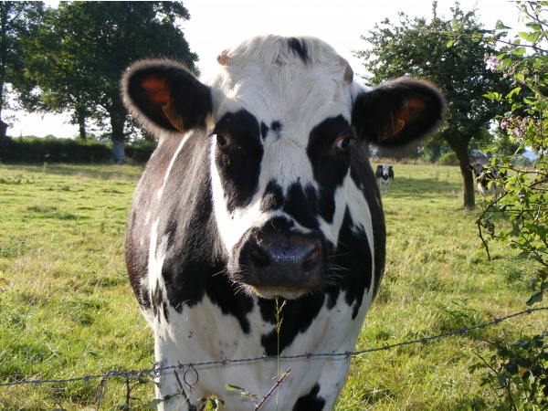 Photo Athis-de-l'Orne - vache Normande