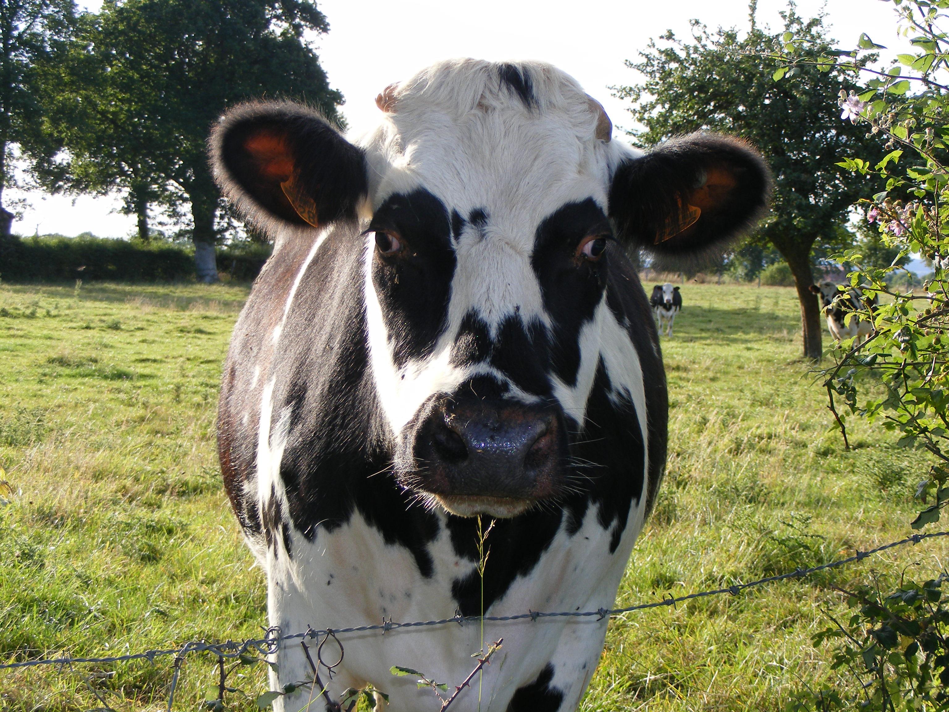 Vache normande une photo de athis de l 39 orne - Jardin contemporain athis de l orne nantes ...