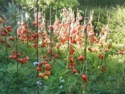 Photo faune et flore, Aubry-en-Exmes - rouges les tomates