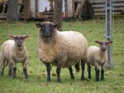 Photo faune et flore, Ségrie-Fontaine - moutons dans la prairie
