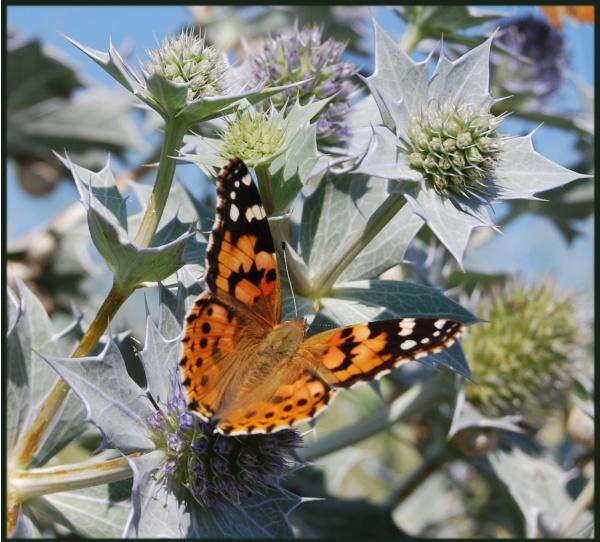 Photo Oye-Plage - papillon  du platier