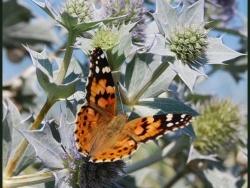 Photo faune et flore, Oye-Plage - papillon  du platier