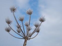 Photo faune et flore, Oye-Plage - plante enneigée du platier d oye réserve naturelle