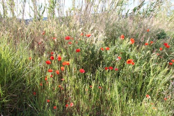 le champs de fleurs