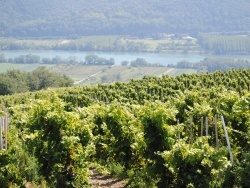 Photo paysage et monuments, Tupin-et-Semons - le vignoble ( côte rôtie )