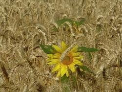 Photo faune et flore, Montauban - Un petit soleil