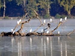 Photo faune et flore, Saint-Nicolas-de-la-Grave - Au plan d'eau- Aigrettes et cormorans