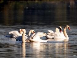 Photo faune et flore, Saint-Nicolas-de-la-Grave - Les cygnes du plan d'eau