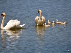 Photo faune et flore, Saint-Nicolas-de-la-Grave - La famille au grand complet