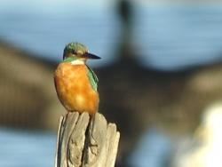 Photo faune et flore, Vaïssac - Martin pêcheur au lac de Gouyre 82800 Vaissac