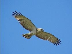 Photo faune et flore, Vaïssac - Circaète Jean le Blanc au Lac de Gouyre 82800 Vaissac