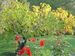 Photo faune et flore, Solliès-Pont - figuier automne