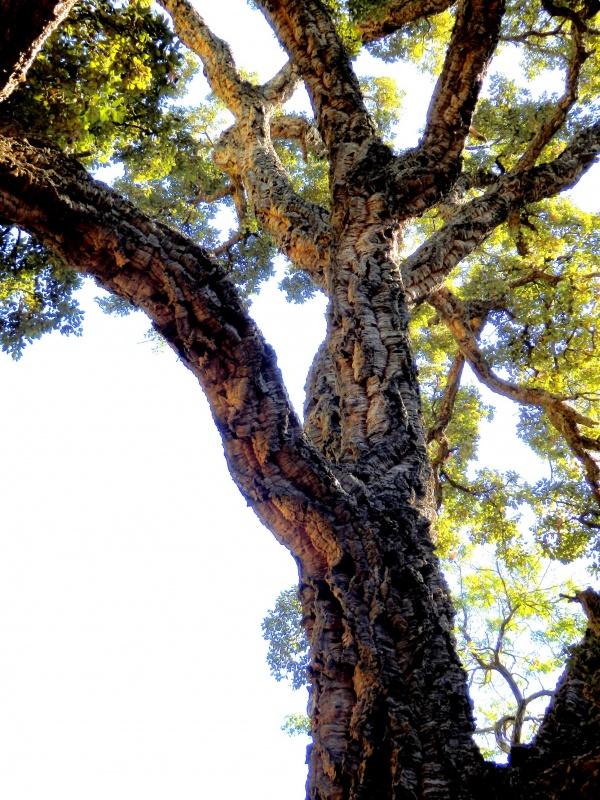 Domaine de Rayol, le jardin des Méditerranées : un chêne liège de plus de 250 an