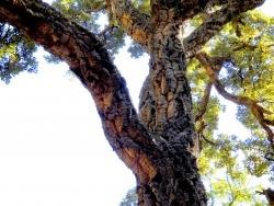 Photo faune et flore, Rayol-Canadel-sur-Mer - Domaine de Rayol, le jardin des Méditerranées : un chêne liège de plus de 250 an