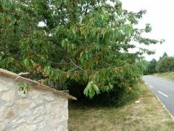 Photo faune et flore, Bédoin - Cerises en revenant de Sault