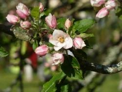 Photo faune et flore, Saint-Sulpice-Laurière - Pommier chez nous