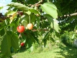 Photo faune et flore, Saint-Sulpice-Laurière - Les cerises hum