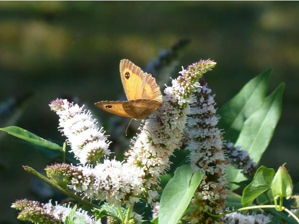 papillons sur la menthe
