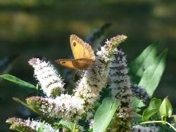 Photo faune et flore, Saint-Sulpice-Laurière - papillons sur la menthe