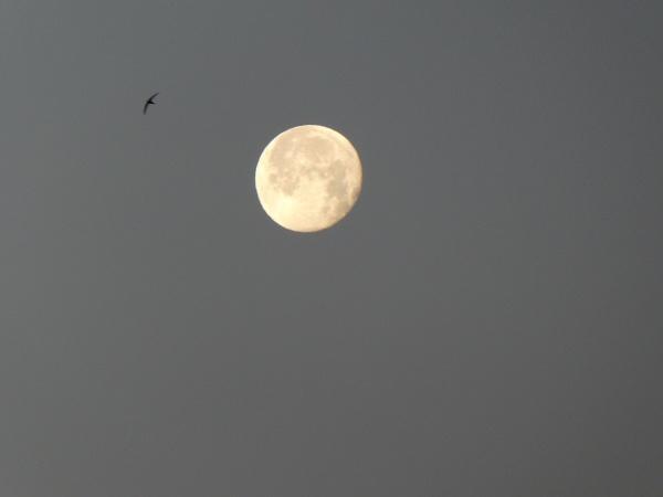 Photo Saint-Sulpice-Laurière - la pleine lune juin 2018 avec un oiseau