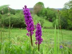 Photo faune et flore, Saint-Sulpice-Laurière - de la famille des orchidées sauvages du Limousin
