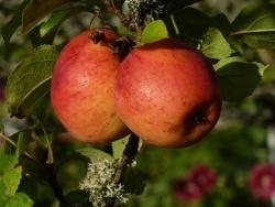 Photo faune et flore, Saint-Sulpice-Laurière - Pomme reinette