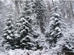 Photo faune et flore, Épinal - Mon beau sapin roi des forêts  Epinal