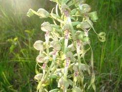 Photo faune et flore, Estrennes - orchis bouc