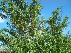 Photo faune et flore, Évaux-et-Ménil - L'arbre aux fruits d'or de la Lorraine