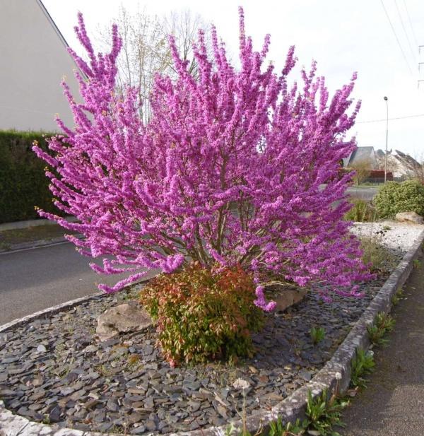 Un bel arbuste en fleurs