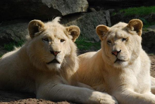 Au zoo de La Flèche, on peut dormir près des lions 1/4