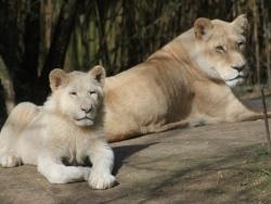 Au zoo de La Flèche, on peut dormir près des lions 3/4
