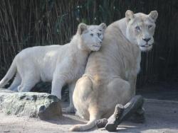 Au zoo de La Flèche, on peut dormir près des lions 4/4