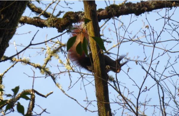 Écureuil roux sur les berges de la Romanée