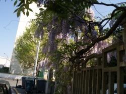 Photo faune et flore, Neuilly-Plaisance - glycines